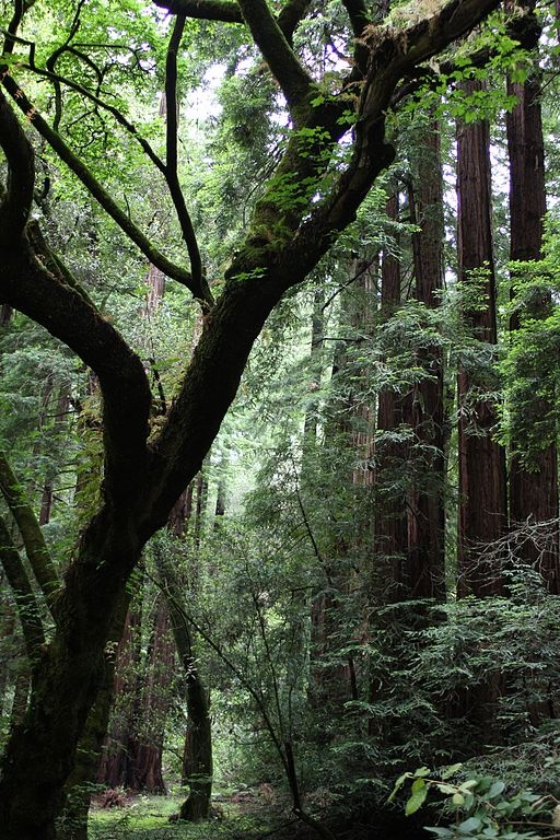 512px-Northern_California_Muir_Woods_-_National_Monument