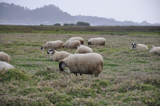 Carmel mission ranch sheep