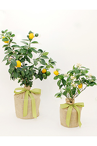 lemon-tree-th