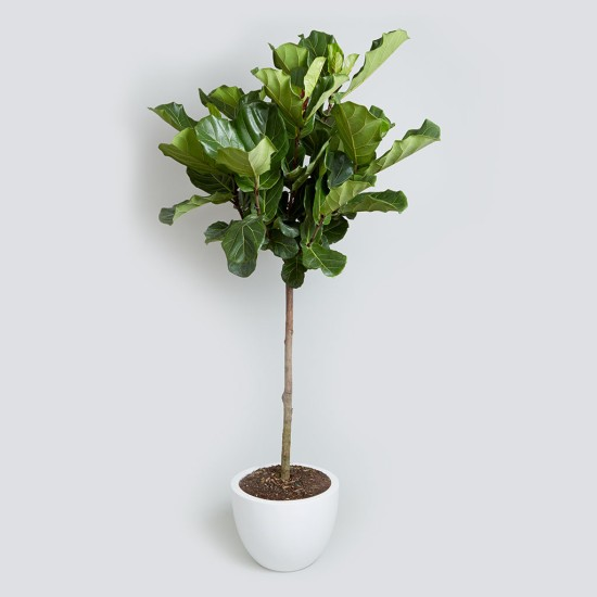 Fiddle_Leaf_Fig_5_7_foot_10240