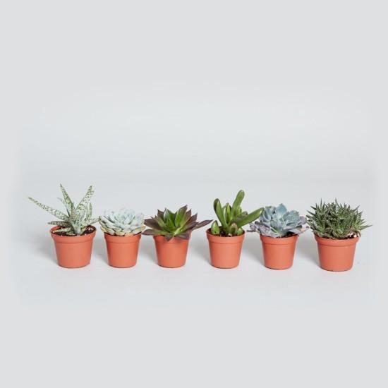 Succulent_Set