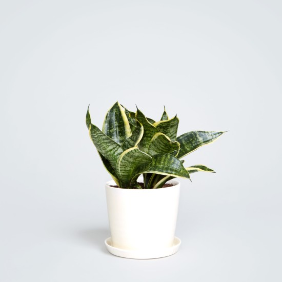 The_Sill_August_White_with_Snake_Plant_f5950d6d-dc55-4623-b670-9e6f3846a0fb