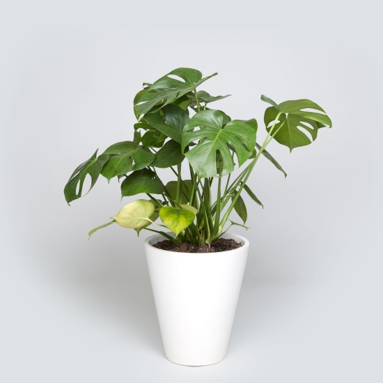 the_sill_floor_planter_case_Study_monstera